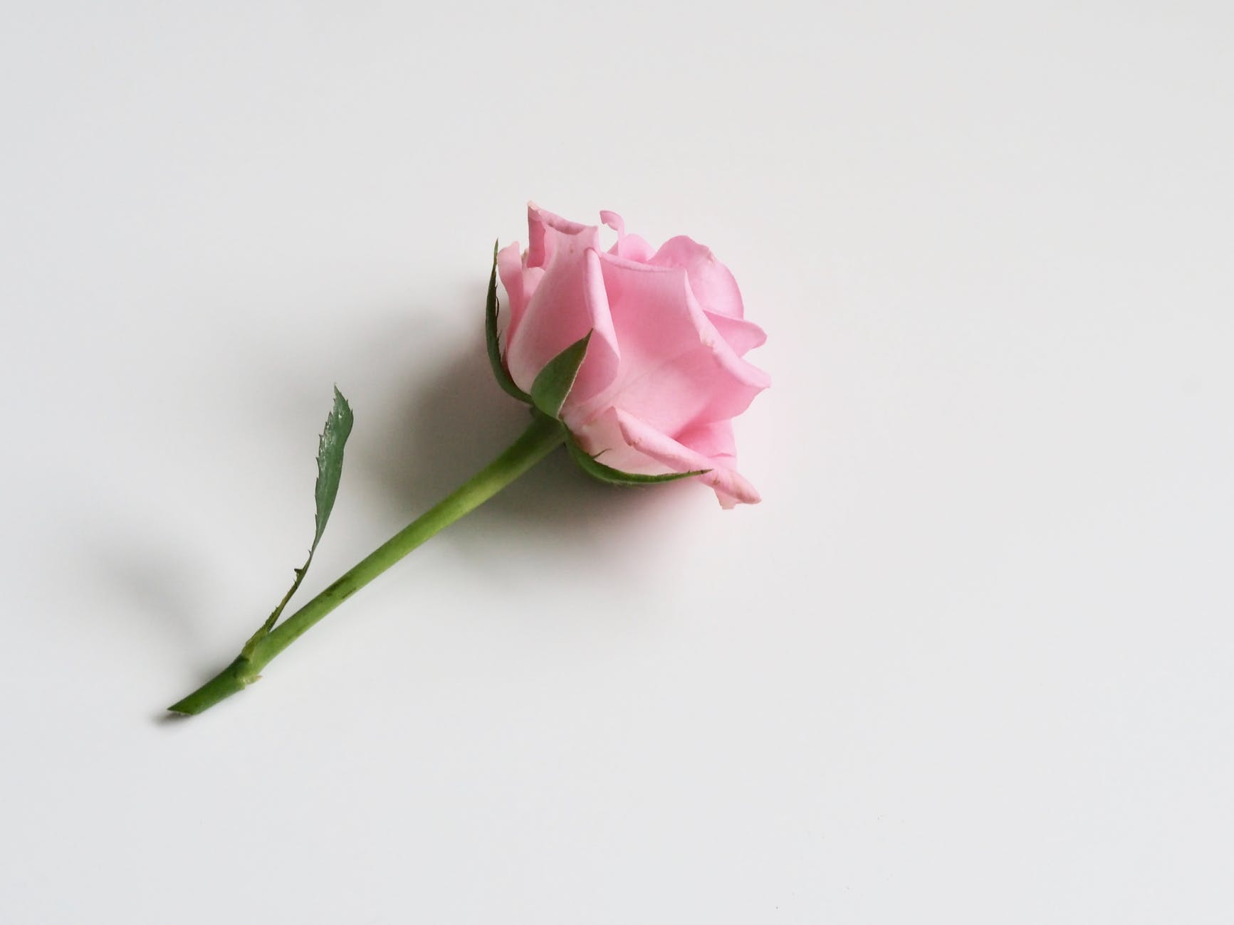 photo of pink rose on white surface